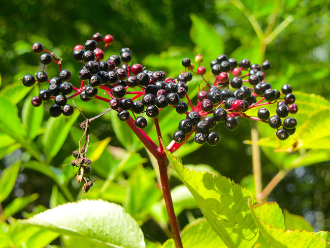 Elderberry On Ballagh Loop Walk