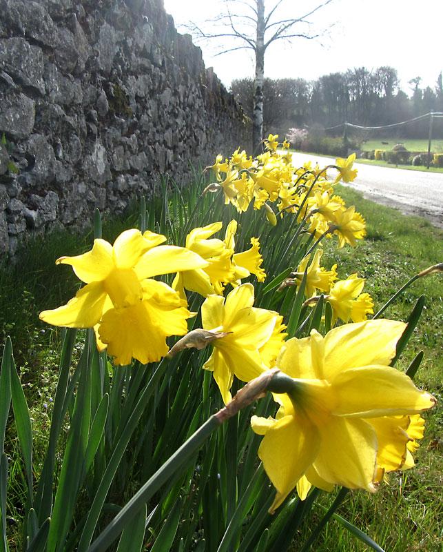 Daffodils On N77