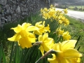 Daffodils On N77