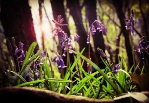 Bluebells at Knockatrina Wood Durrow