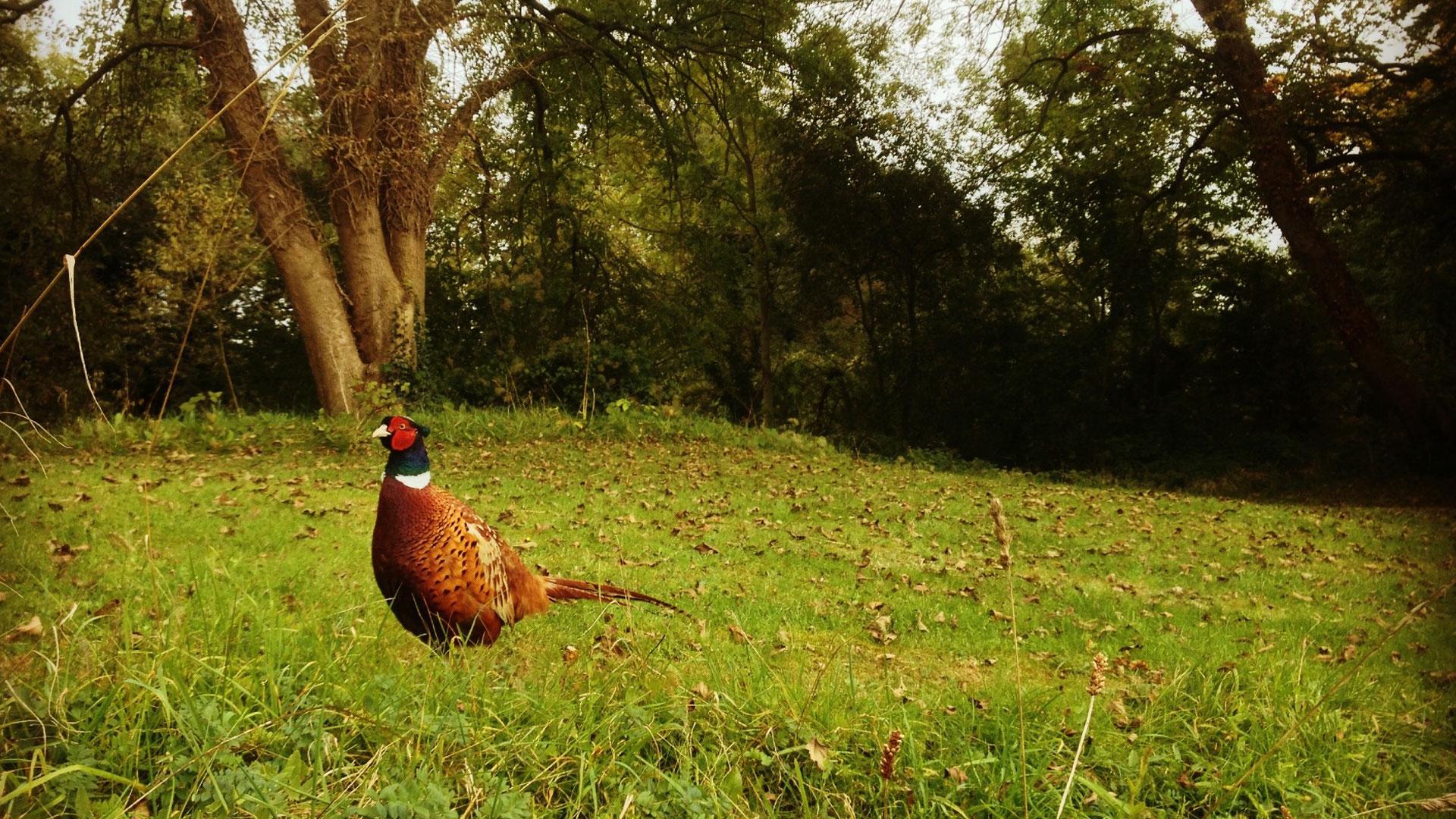 The Friendly Pheasant