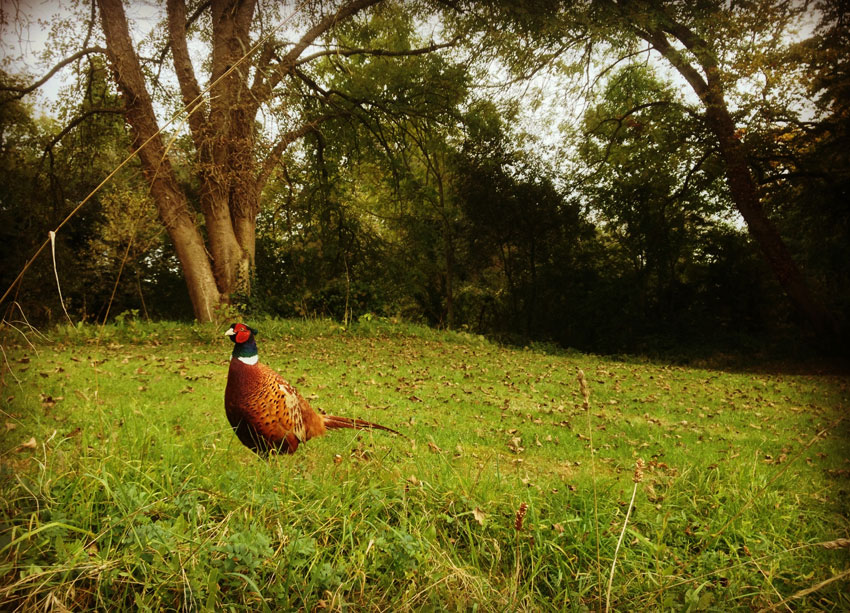Pheasant On The Leafy Loop Walk Durrow