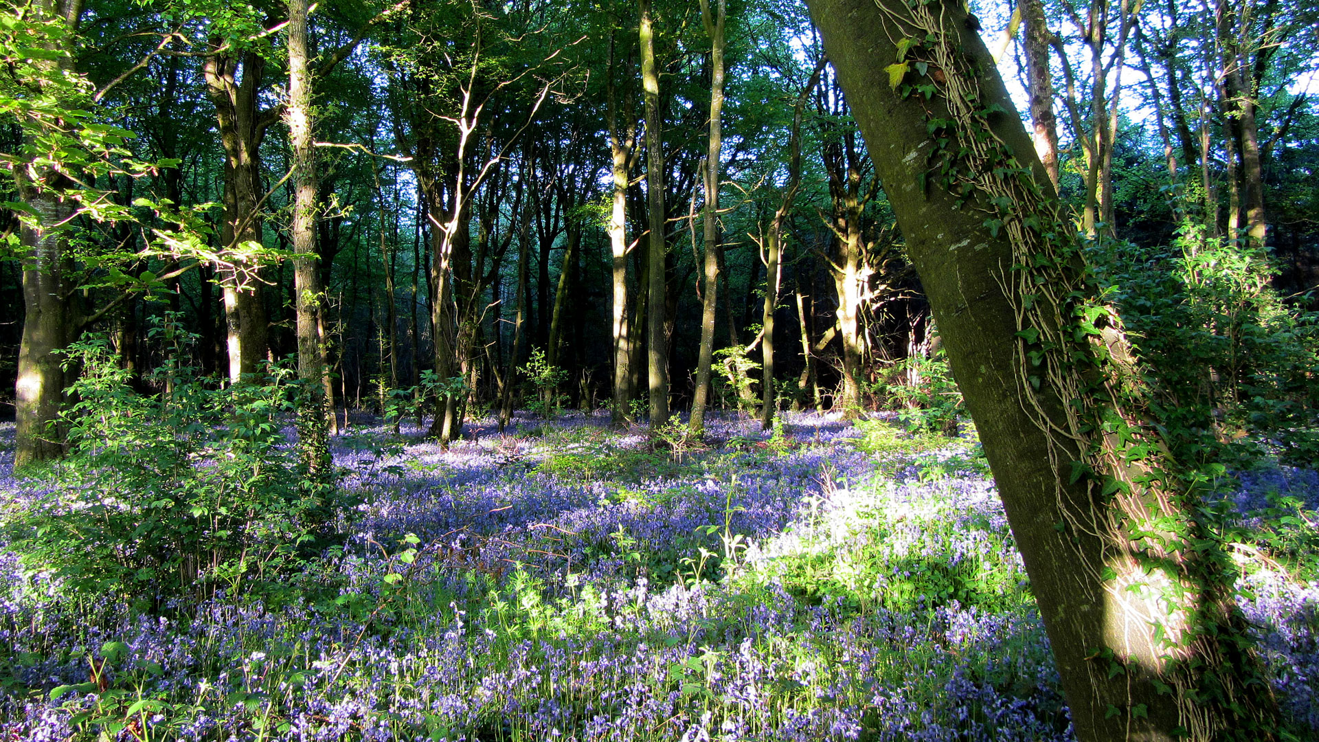 Bluebell Walk – Capponellan Wood Durrow.