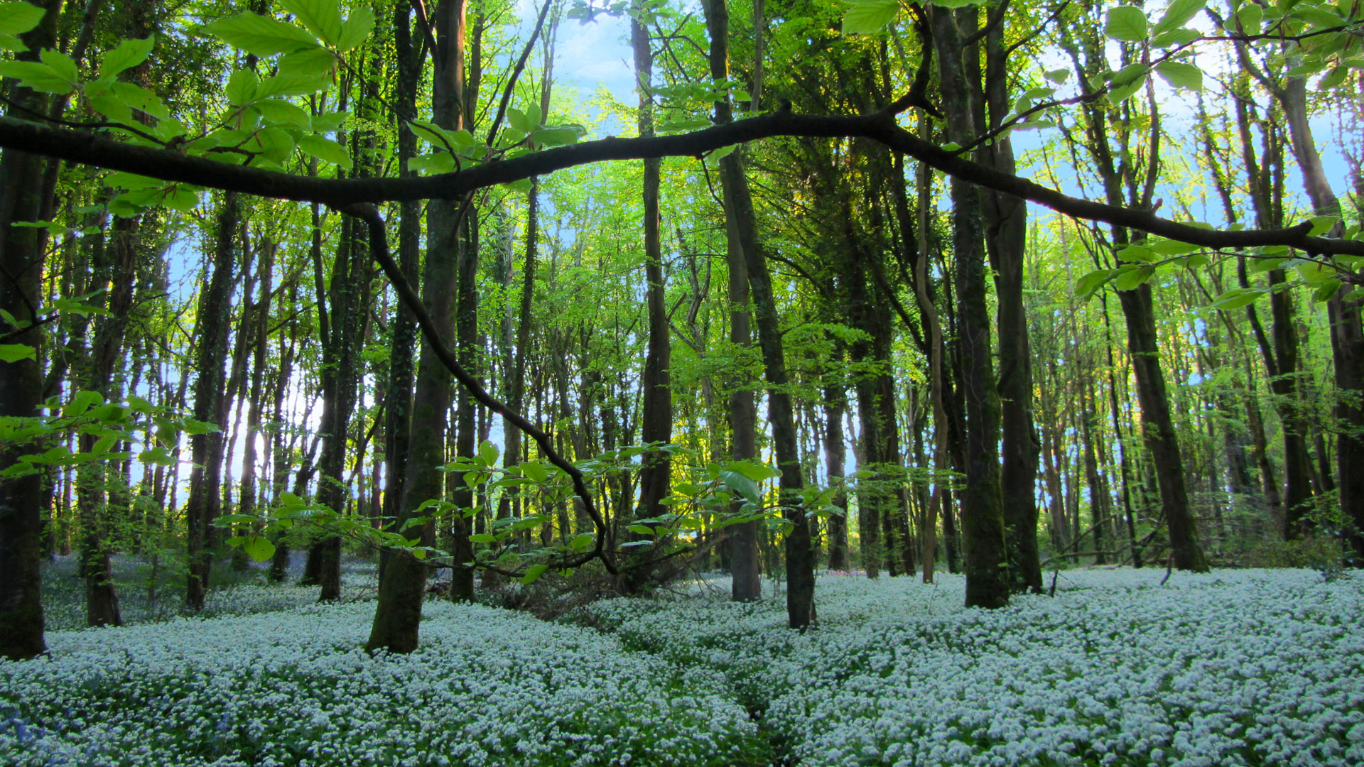 Knockatrina Wood in Full Bloom.