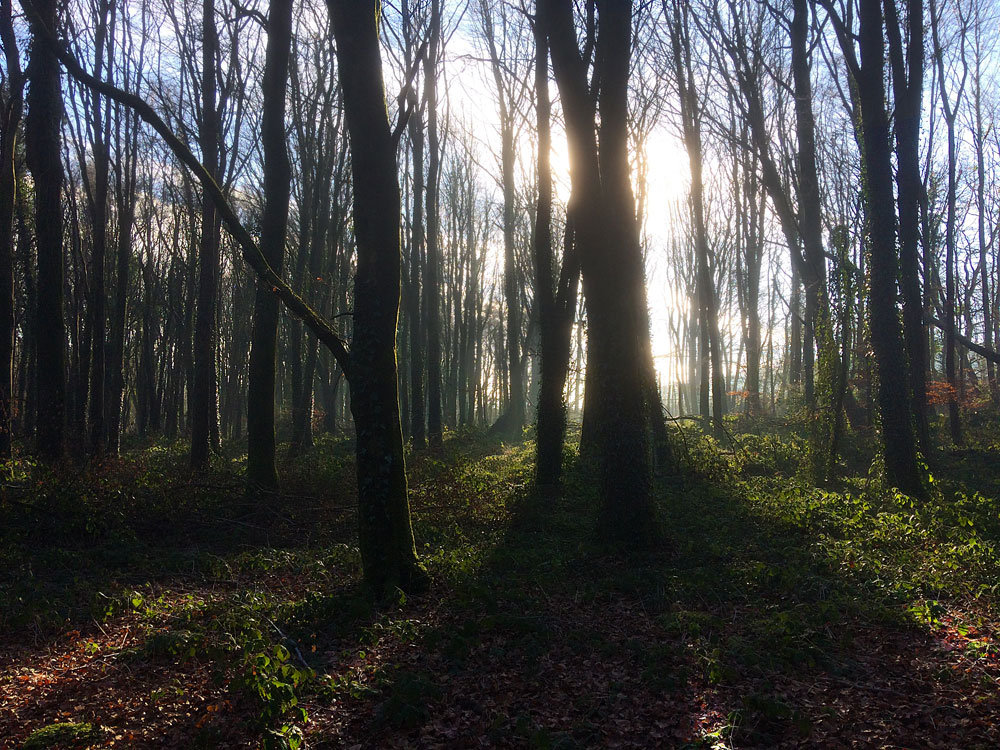 Knockatrina Wood - Early Morning Sun.
