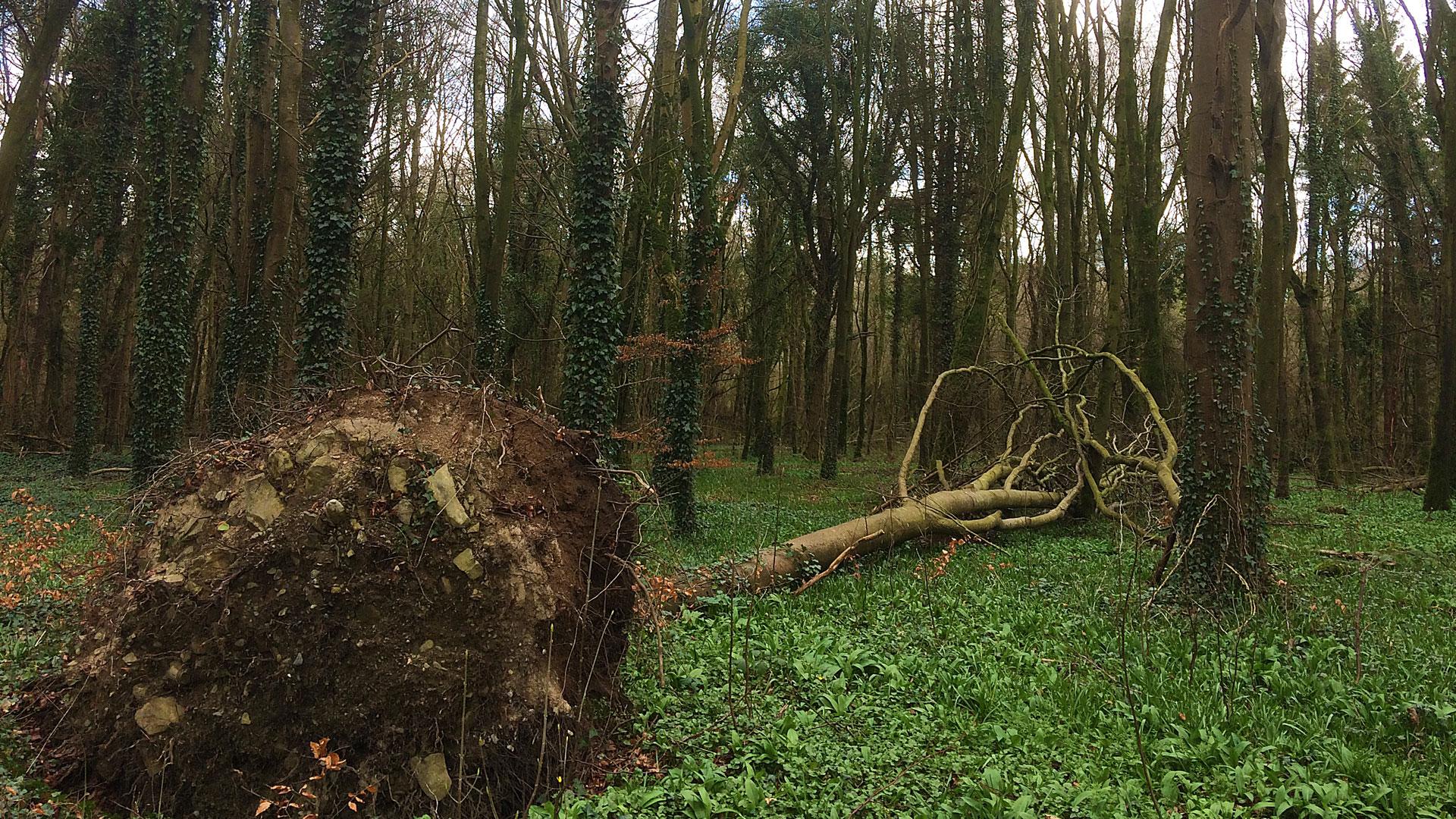 Knockatrina Wood – March 8th 2017.