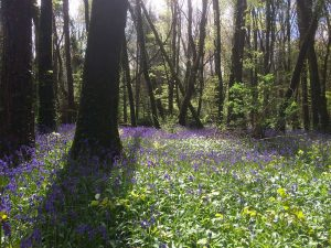 Bluebells at Knockatrina Wood, Durrow - April 25th 2017.