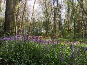 Bluebells at Knockatrina Wood, Durrow - April 25th 2017.