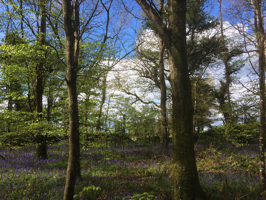 Bluebells at Capponellan Wood, Durrow - April 26th 2017.