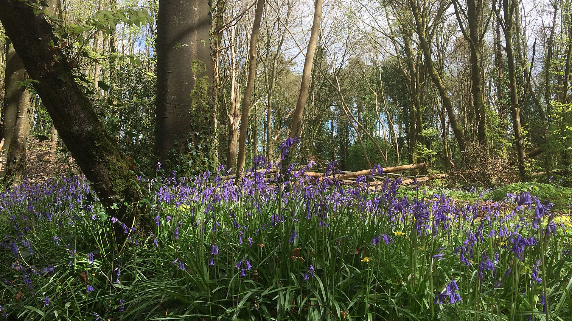 Bluebells at Knockatrina Wood, Durrow – Gallery 3.