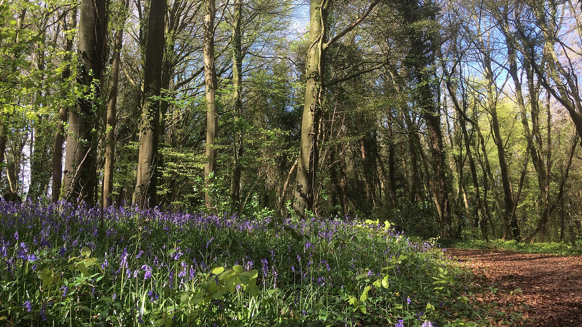 Bluebells at Knockatrina Wood, Durrow – Gallery 2