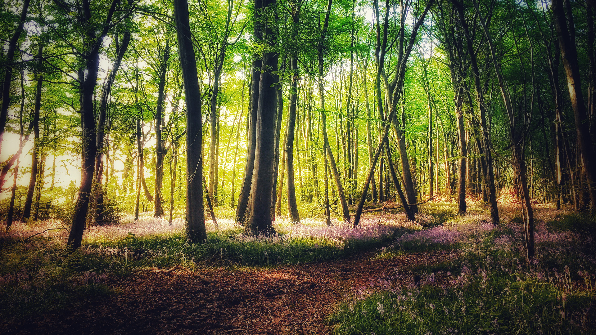 Evening Sun & Bluebells at Capponellan Wood, Durrow